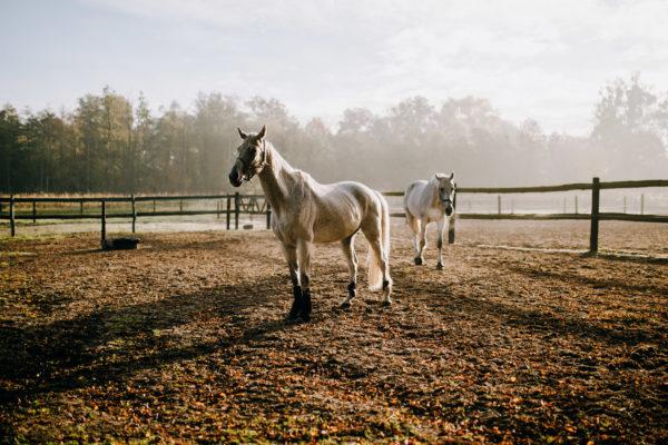 Konie o poranku